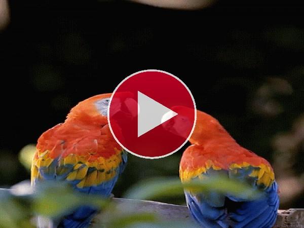 GIF: Mira a estos guacamayos dándose un piquito