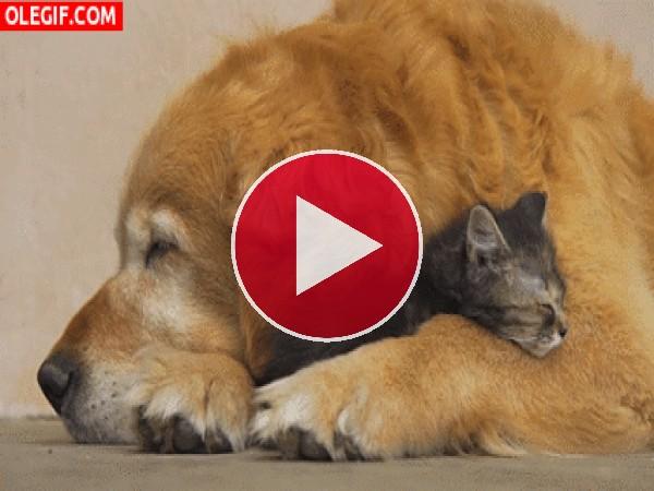Qué agusto está el gato durmiendo entre las patas del perro