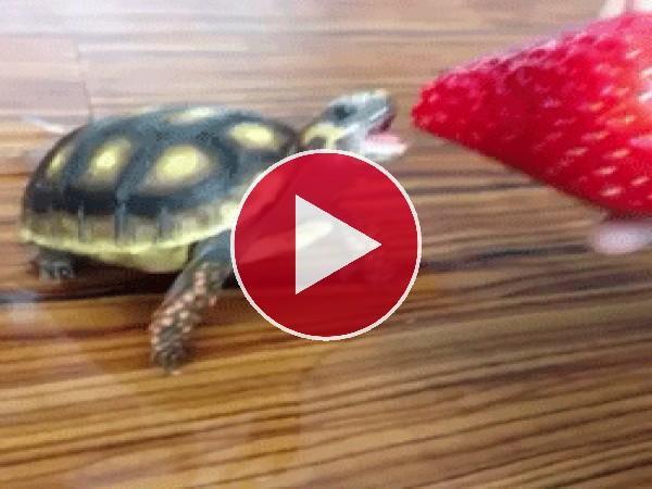 GIF: Mira a esta tortuga mordiendo una fresa
