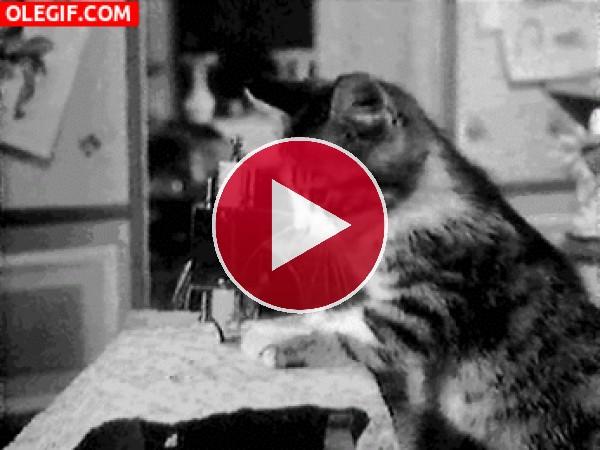 GIF: Mira a este gato cosiendo una tela