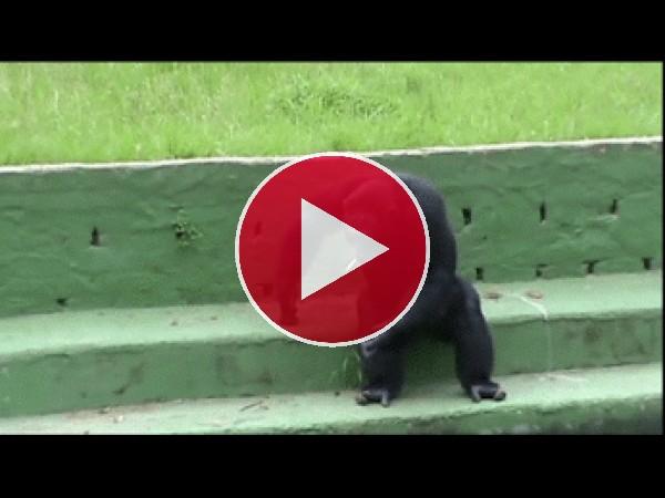 Mira a este chimpancé fumando un cigarro