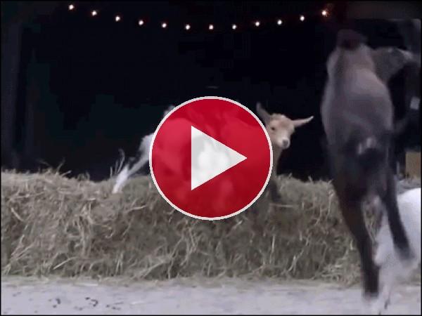 Fuga de cabras ninja