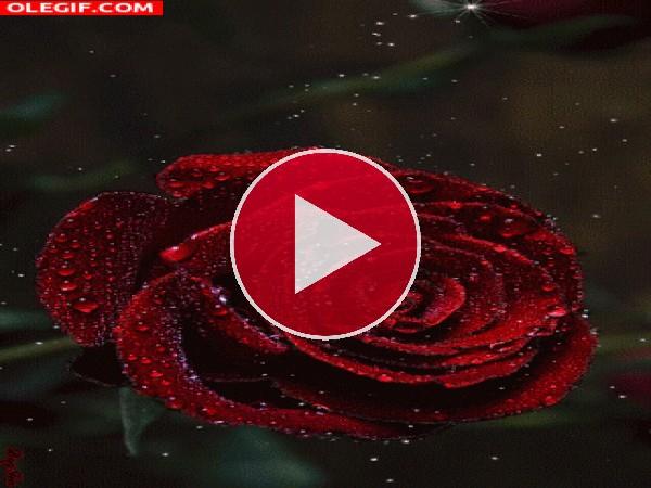 Destellos brillando sobre una rosa roja
