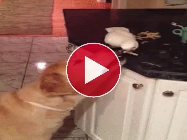 Cacatúa alimentando al perro
