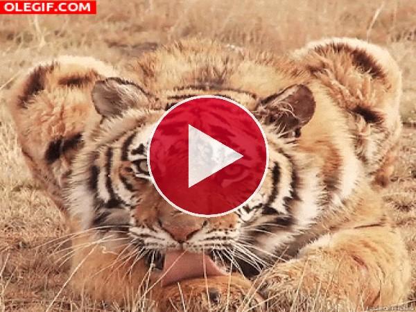 Mira a este tigre lamiendo su pata