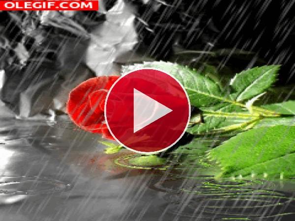 Lluvia cayendo sobre una rosa