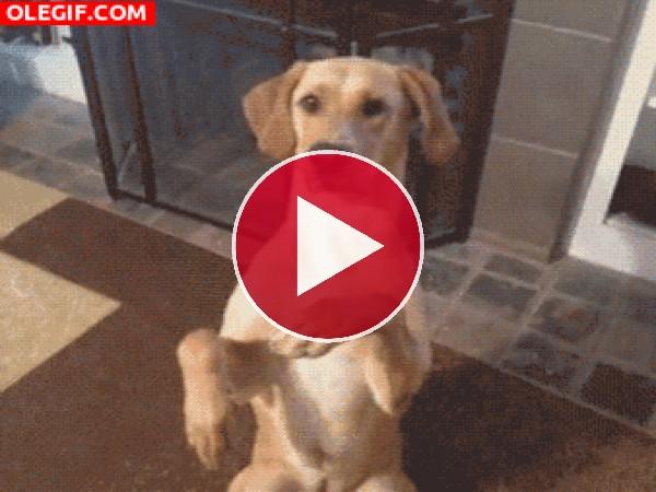 GIF: Mira a este perro haciéndose el muerto