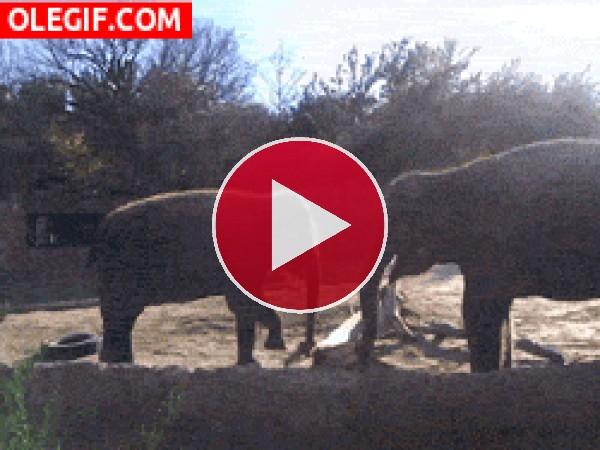 Elefantes moviendo sus trompas