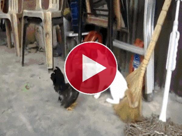 Este gallo le ha puesto las pilas al gato