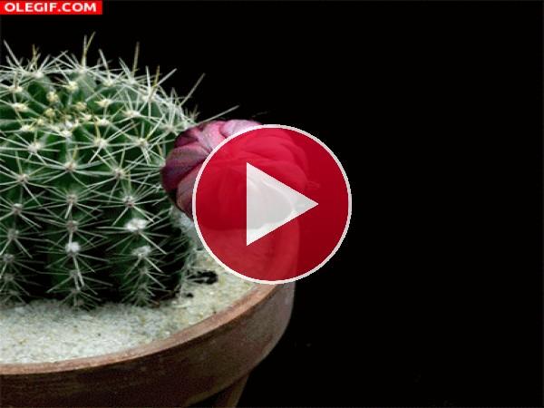 Flor de cactus abriendo sus pétalos