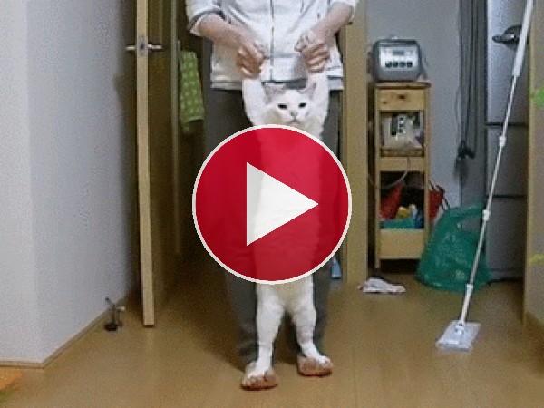 Mira cómo camina el gato
