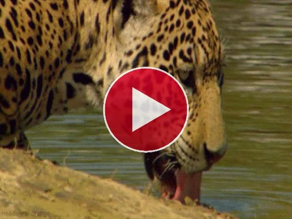 GIF: Este leopardo tiene mucha sed