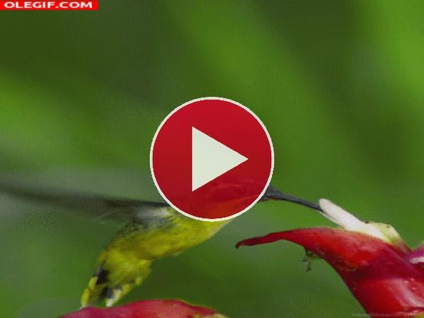 Mira a este colibrí libando en una flor