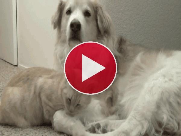 GIF: A este gato le gusta ponerse cómodo junto al perro