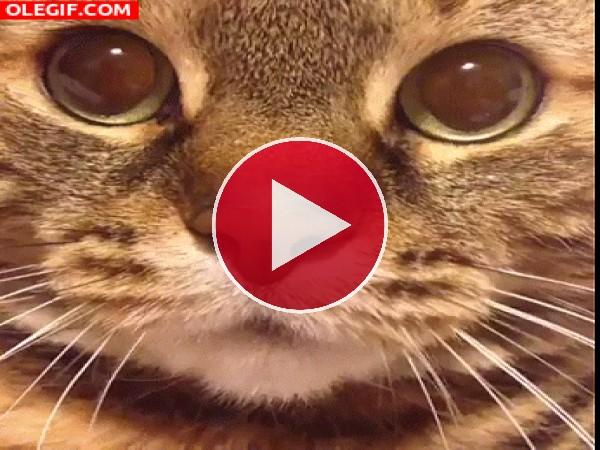 GIF: Hola, soy un gato maullando