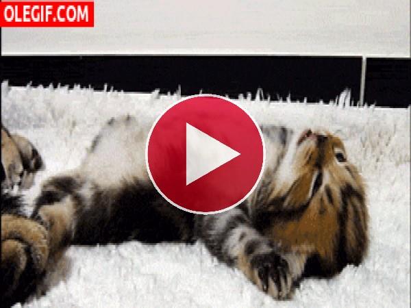 GIF: Mira a este lindo gatito
