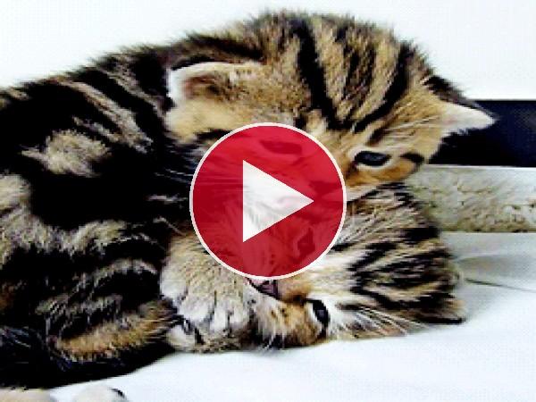 Esa gatito demuestra su amor por su hermano