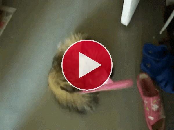Este gato se está peleando con la zapatilla