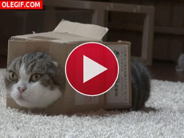 Este gato está muy cómodo dentro de la caja