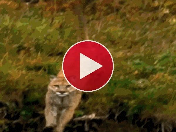 Mira cómo corre este puma