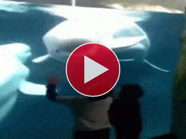 GIF: Vaya susto les da la beluga
