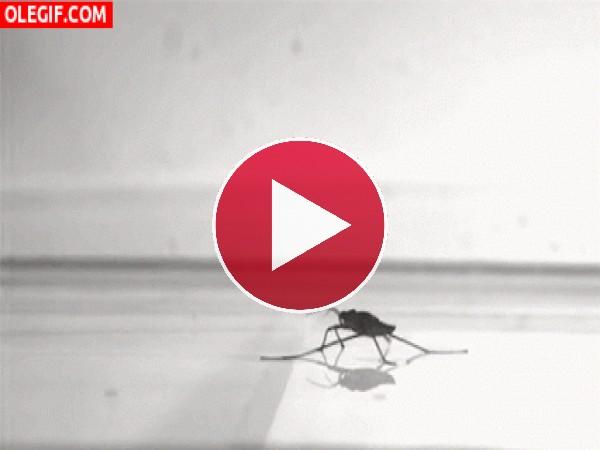 Mira cómo salta este insecto