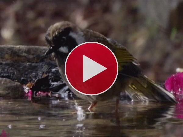 GIF: A este pájaro le gusta refrescarse