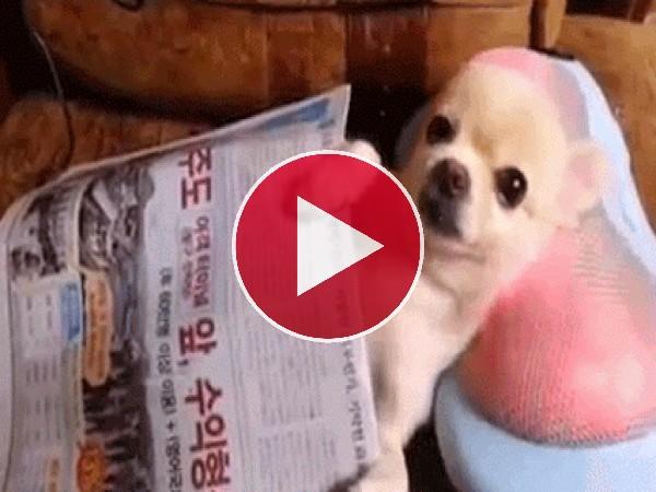 A este perro le encantan los masajes