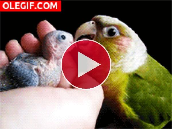 GIF: Loro cuidando de su polluelo