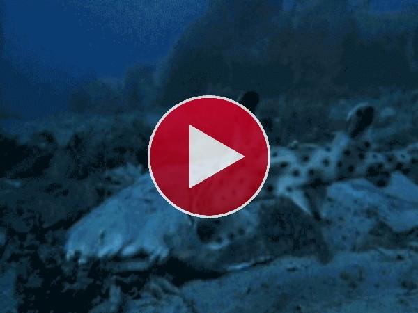 Este pez se come a un pequeño tiburón