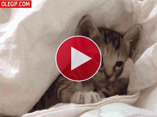GIF: Este gatito está muy cómodo entre las sábanas