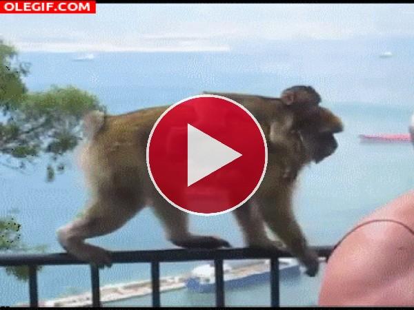 A este mono le gusta el helado