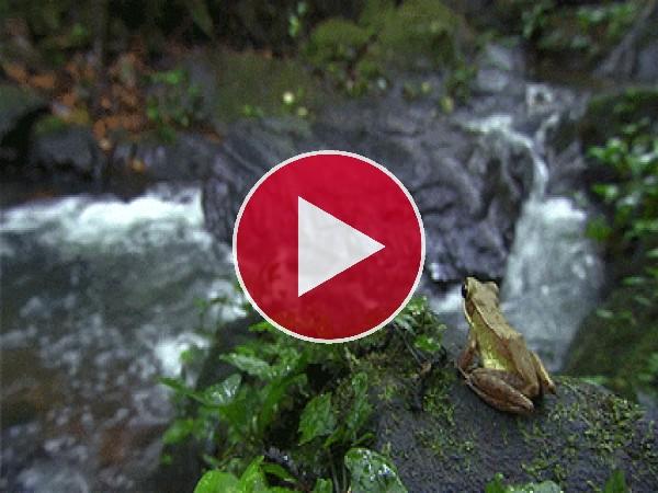 Mira cómo salta la rana