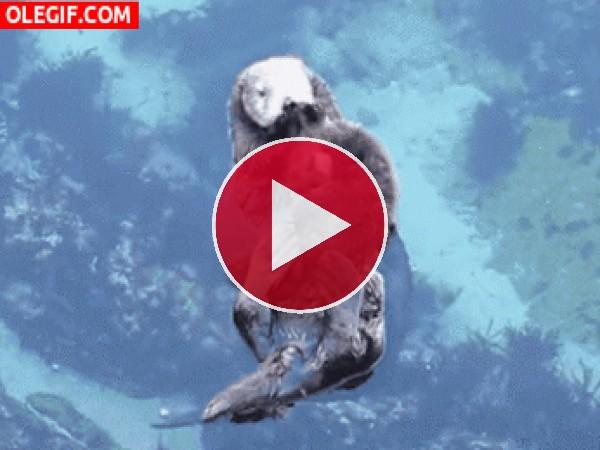 GIF: Mira a esta nutria marina cuidando de su cría