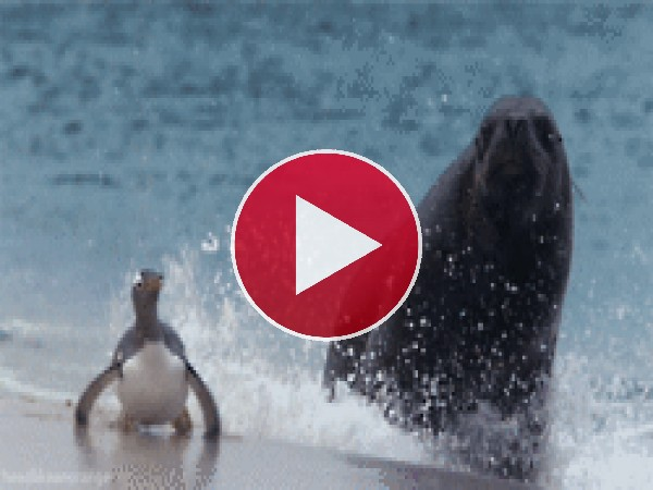 GIF: ¡Corre pingüino, corre!