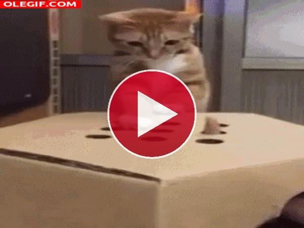 GIF: Un gato juguetón