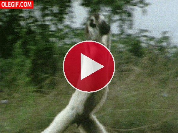 Un lémur saltando
