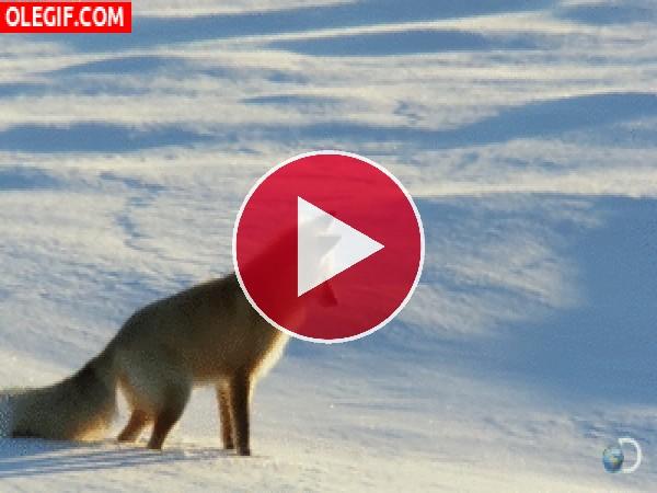 GIF: ¿Qué habrá visto este zorro bajo la nieve?
