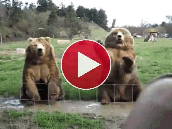 Mira a estos osos saludando