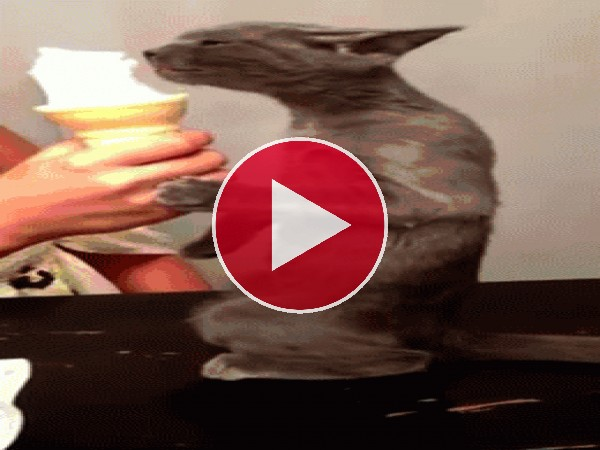 GIF: A este gato le encanta el helado