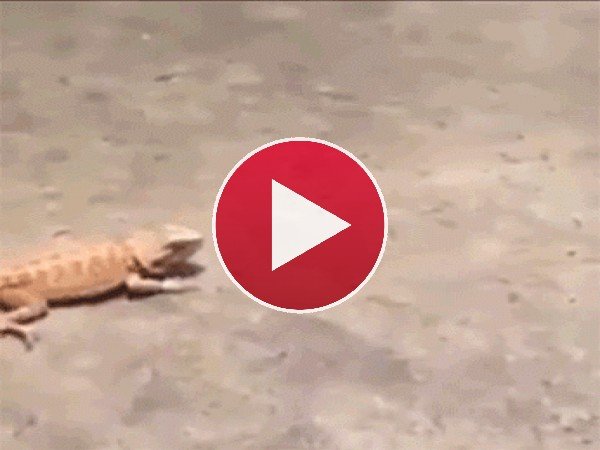Mira cómo corre este gecko