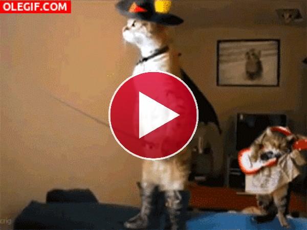 """GIF: El verdadero """"gato con botas"""""""