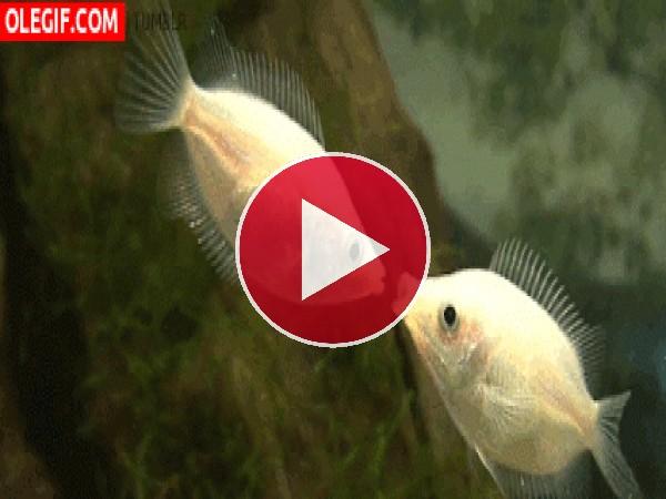 GIF: Unos peces muy besucones