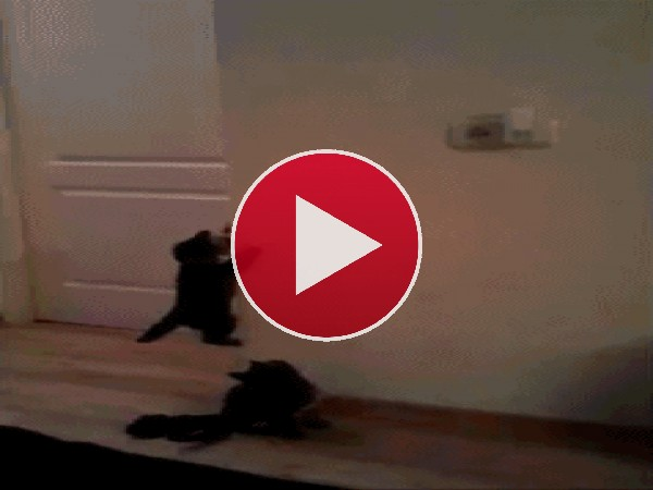 GIF: Mira cómo escalan estos gatitos