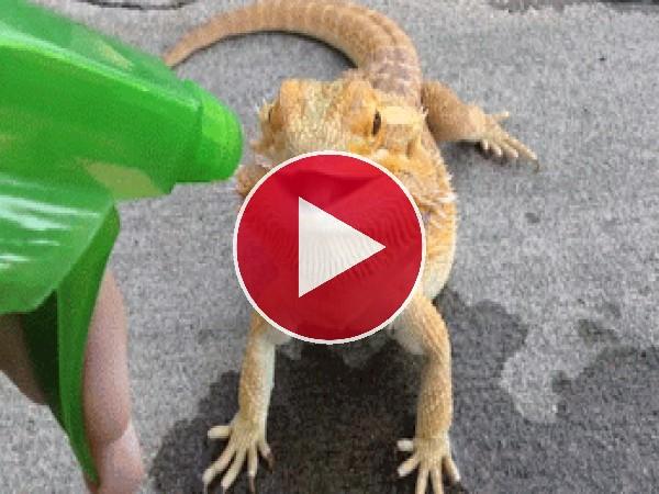 GIF: A este gecko le gusta el agua