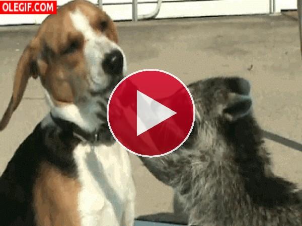Este mapache se ha enamorado del perro