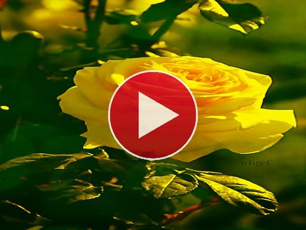 Rosa amarilla meciéndose con el viento