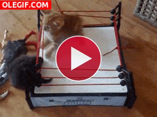 GIF: Gatitos peleando en el ring