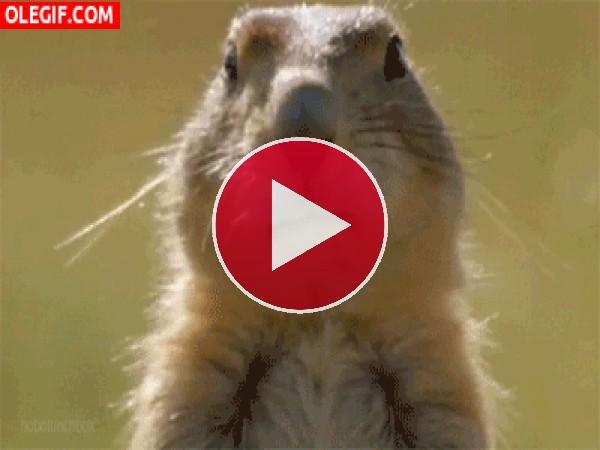 GIF: A esta marmota la gusta comer chicle