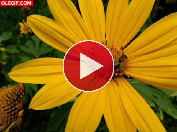 Abeja polinizando una flor amarilla